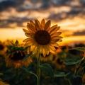 sunflower_dusk