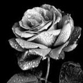 silver_rose