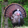 turkeyking666
