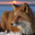 foxesaremylove