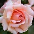 roseboy