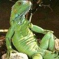 lizardofawes