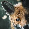 foxcri