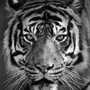 The Tiger passion stories