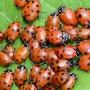 Ladybird Invasion humor stories