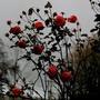 rose flower stories