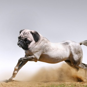 Pug Horses animals stories