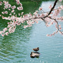 ~Sakura~                         The Cherry Blossoms  flower stories