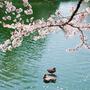 ~Sakura~                         The Cherry Blossoms  flower stories