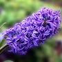 𝐇𝐨𝐰 𝐭𝐡𝐞 𝐏𝐮𝐫𝐩𝐥𝐞 𝐇𝐲𝐚𝐜𝐢𝐧𝐭𝐡𝐬 𝐛𝐥𝐨𝐨𝐦... purple hyacinth stories