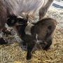 THE BABY GOATS ARE BORN goats stories