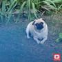 Screaming Pug - Lyrics dog stories