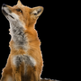 Cal ran off towards a small stream. Her friend Vixie was waiting for her. The 2 sometimes traveled together in search of food. They were very similar, except Vixie had a mate named Adam. Cal had no mate. They left at dawn to start hunting for food. foxes stories