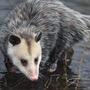 An Opossum! opossum stories