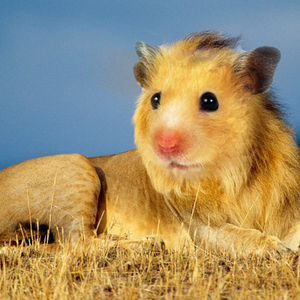 Hamster Lions animal stories