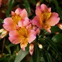 Peruvian Lily spark stories